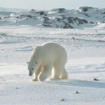 Polar bear shot dead in Norway after wounding cruise ship worker