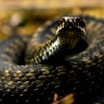 'Record' number of Norwegians suffer snake bites during hot summer