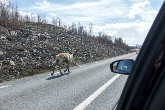 Record Arctic heat drives reindeer into cool tunnels
