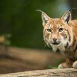 Lynx takes a rest on Norwegian family's front drive