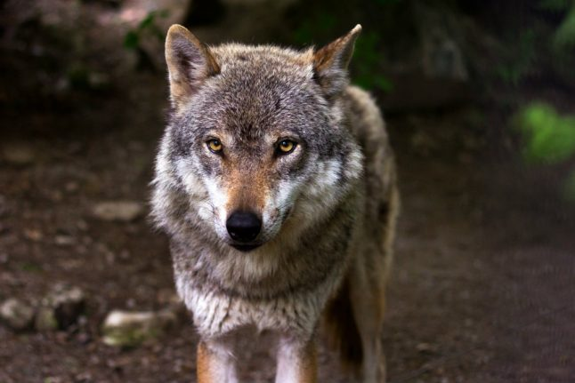 How many wolves are there in the Norwegian wild?