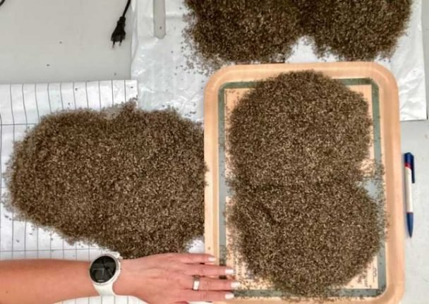Norway woman catches a litre of mosquitos a day