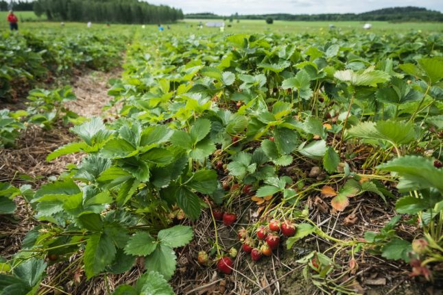 Oslo youngsters stand in for foreign workforce on Norwegian farms
