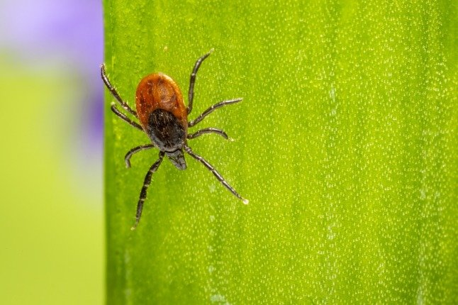 Ticks in Norway: How to avoid them and protect yourself