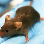 Running rescues mice from diabetes: study
