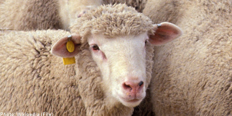 Sheep saved from cliff in dramatic chopper rescue