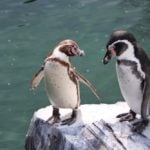 Isolation nearly over for Norway penguins as vaccination arrives